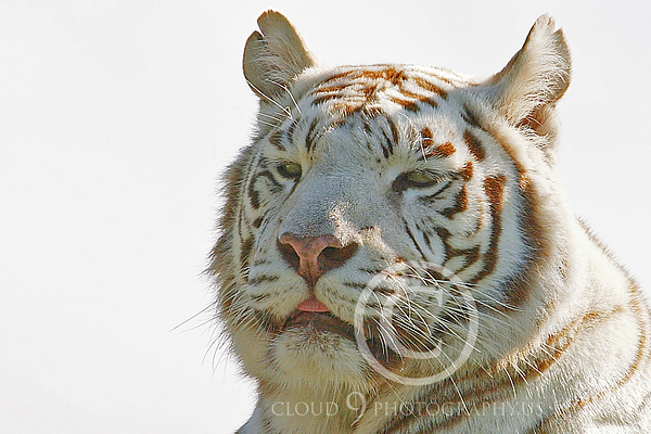 White Bengal Tiger Wildlife Photography