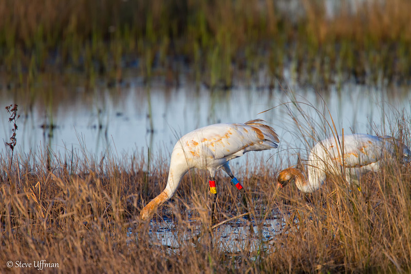 20120207-_MG_2610Whooping_Cranes_White_Lake-Edit.jpg