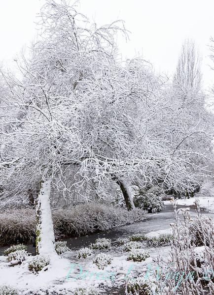 Malus 'Radiant' in snow_4252.jpg