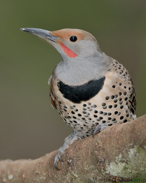 Northern Red Shafted Flicker male on a fir branch.