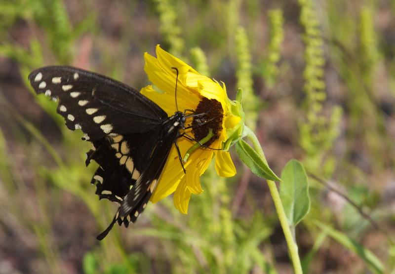 swallowtail Black Swallowtail Papilio polyxenes Park Point Duluth MN IMG_0047121.CR2.jpg