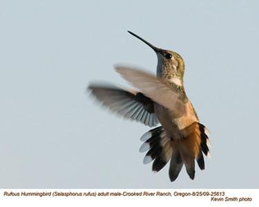 RufousHummingbirdsA25613.jpg