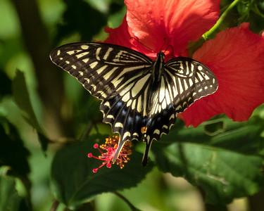 Japanese Swallowtail