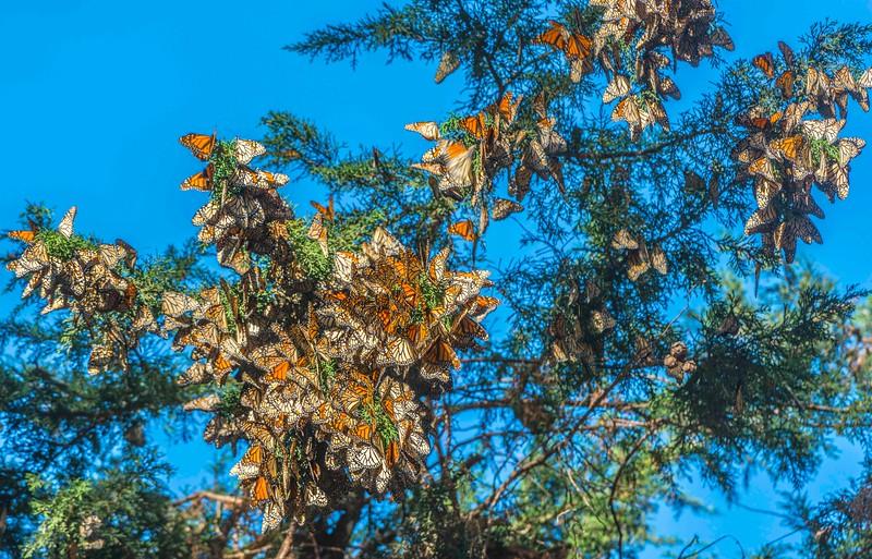 Monarch Butterfly-7.jpg