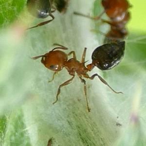 P155CrematogasterLaeviusculaAcrobatAnt593 Apr. 7, 2016  9:37 a.m.  P1550592 This Acrobat Ant, Crematogaster laeviuscula, was part of a group attending a Vanduzea species Treehopper on a forb.  Formicid.