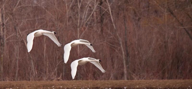 swan aylmer 2011-1.jpg