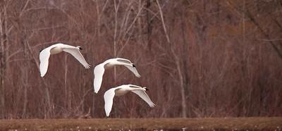 Swan Migration, Aylmer, Ontario, 2011