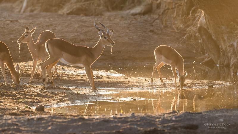 Impala, Mashatu GR, Botswana, May 2017-2.jpg