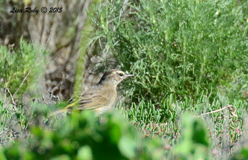 Palm Warbler - 1/25/2015 - Borderfield State Park