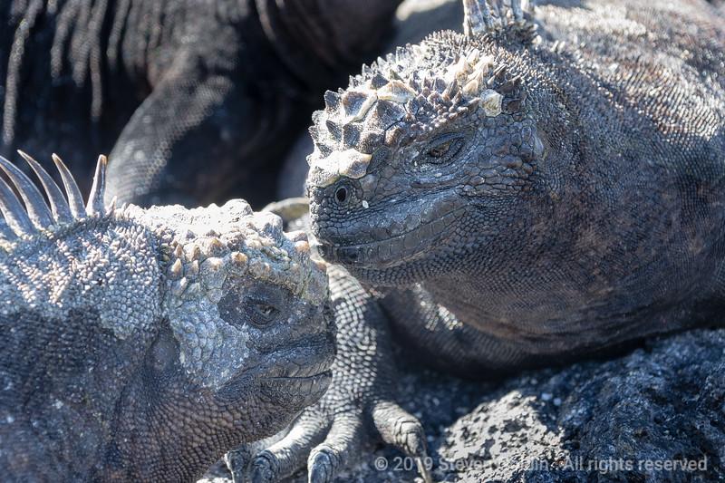 Marine Iguana face off