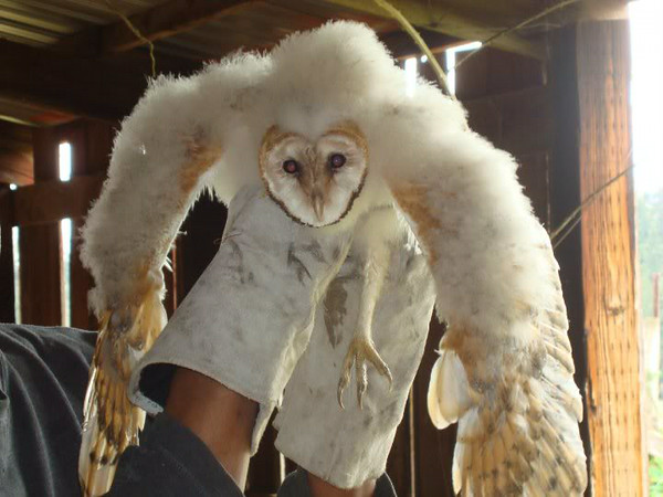 Baby Owlet Rescue's -Close up Photos