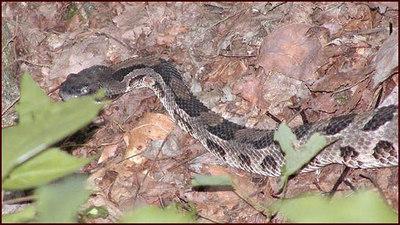 Rattlesnake-closeup.jpg