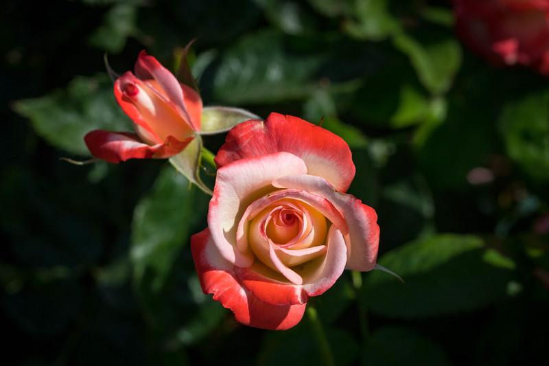 Rose Garden 8.2018-0815.jpg