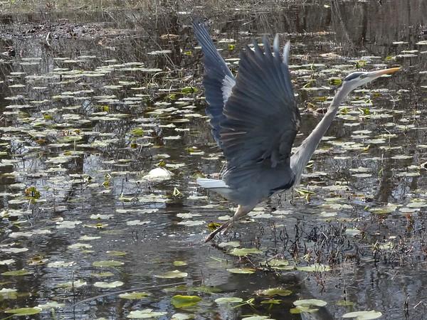HeronFlying5.jpg