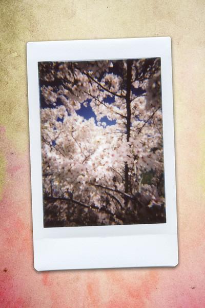 170430_ARD-cherryblossoms_INSTAX02.jpg