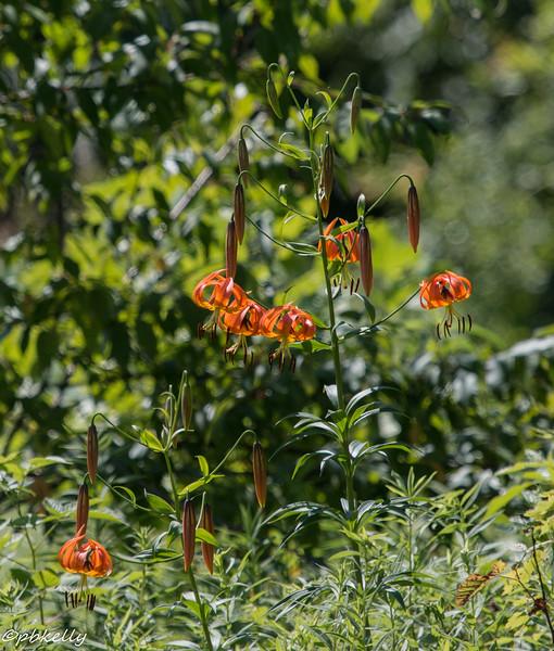michigan lilies 071815-2.jpg