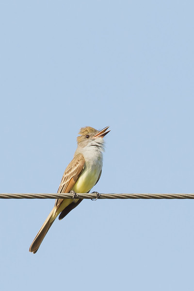 Ash-throated Flycatcher - Bentsen - Rio Grande Valley State Park, Mission, TX, USA