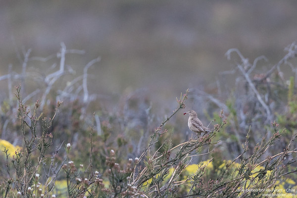 Gray-bellied Shrike-Tyrant