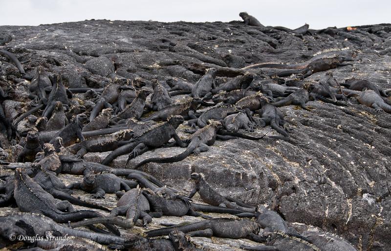 Marine Iguanas are everywhere....watch your step!  Punta Espinoza, Fernandina Island