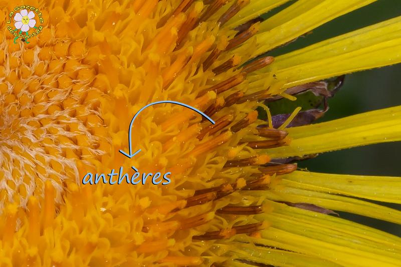 Grande aunée (Inula helenium)