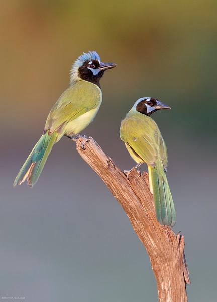Green Jays