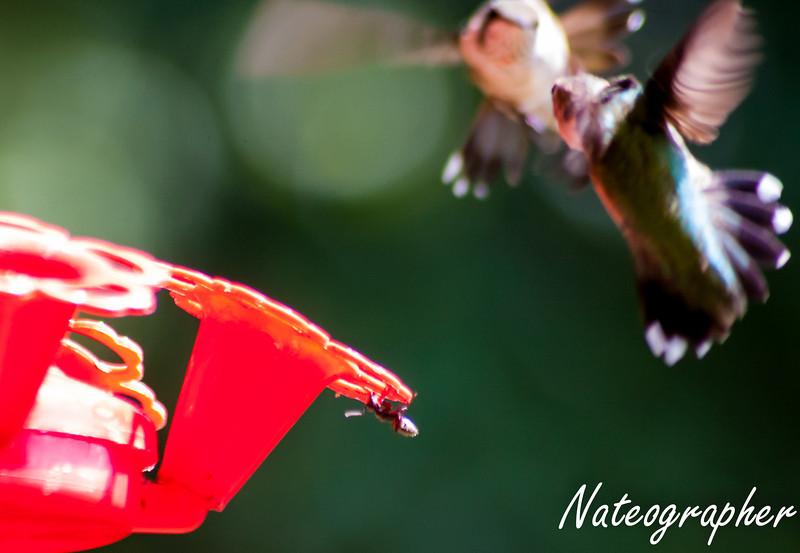 HummingBirds-4242.jpg