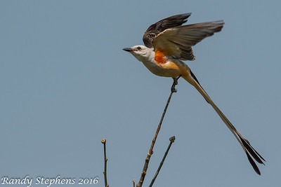 Scissor-tailed Flycatchers 6 16