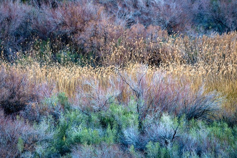 Colorado River Vegitation California Mojave Desert.jpg