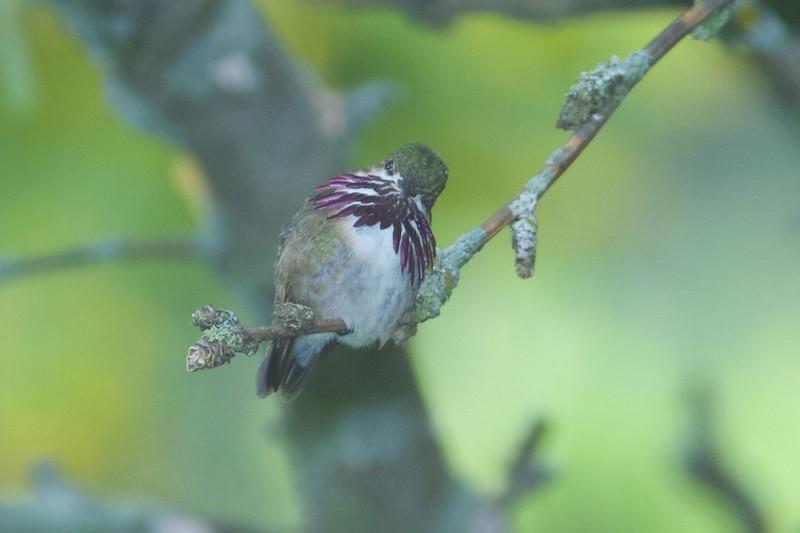Calliope Hummingbird male Park Point Duluth MN IMG_1940.jpg