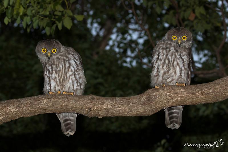 Juvenile Barking Owls