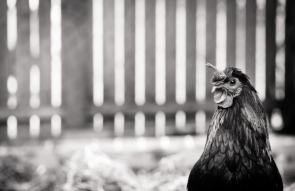 Portraits of Pam's Chickens