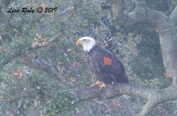Tagged Bald Eagle  - 12/28/2019 - Lake Wohlford area