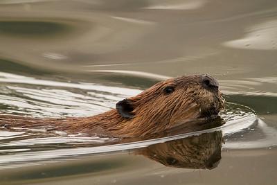 American Beaver (Castor americano)
