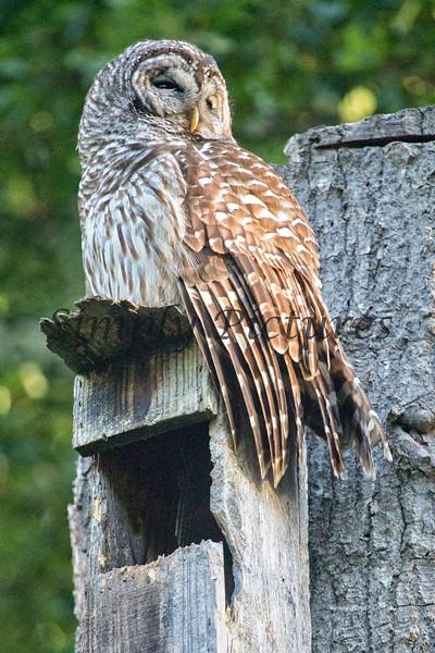 Owl  (49)
