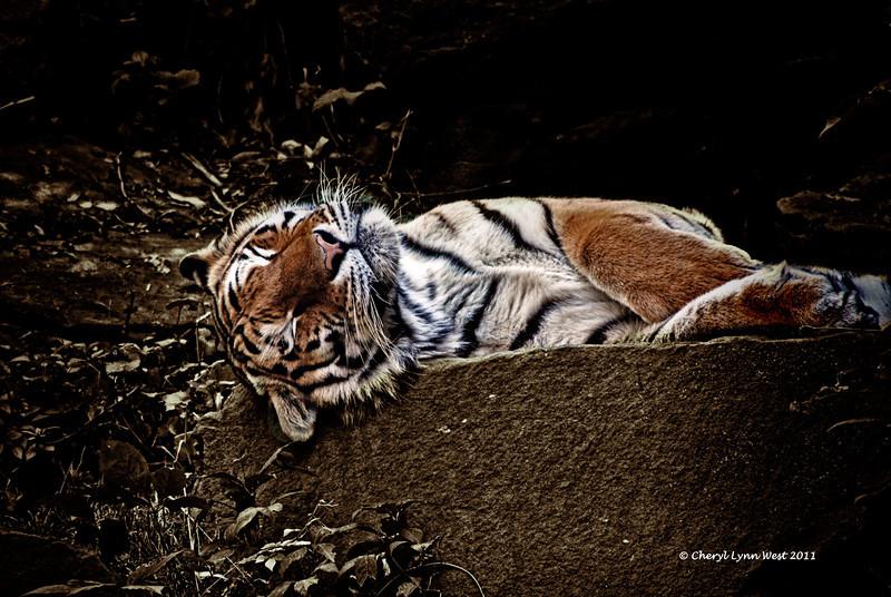Tiger_6631D.jpg