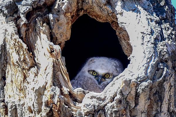 4-1-16 Great Horned Owl Family