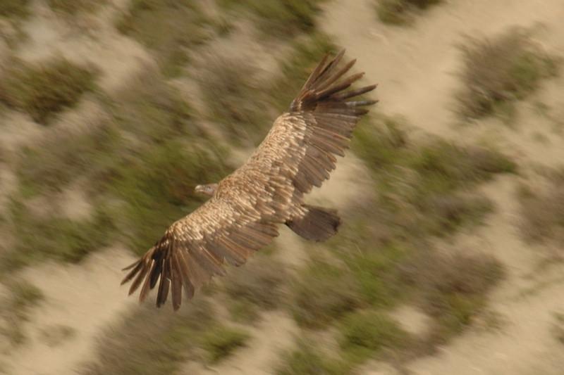 Himalayan Vulture - Annapurna Circuit, Nepal