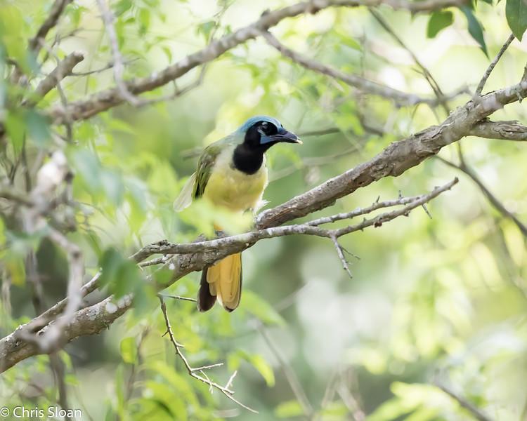 Green Jay at Resaca de la Palma State Park, Brownsville, TX (07-25-2015) 080-175.jpg