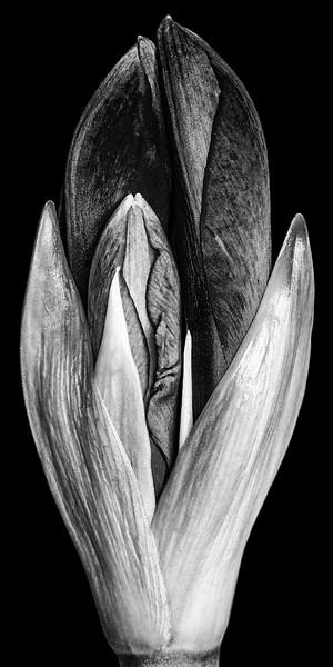 amaryllis-bud-bw.jpg