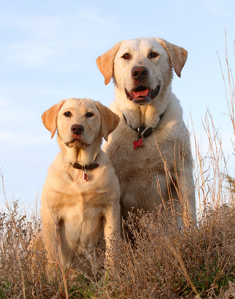 Yellow Labs.jpg