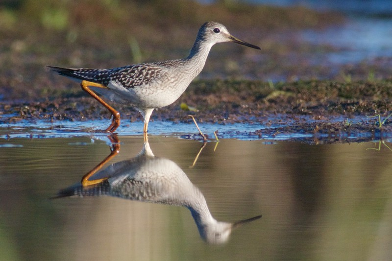 Lesser Yellowlegs Kimmes-Tobin Wetlands Douglas Co WI IMG_0064401.jpg