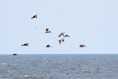 Sapelo Pelicans