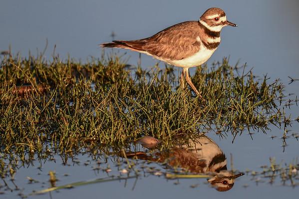 5 2013 May 26 Killdeer, Savannah Sparrow & Red-winged Blackbirds