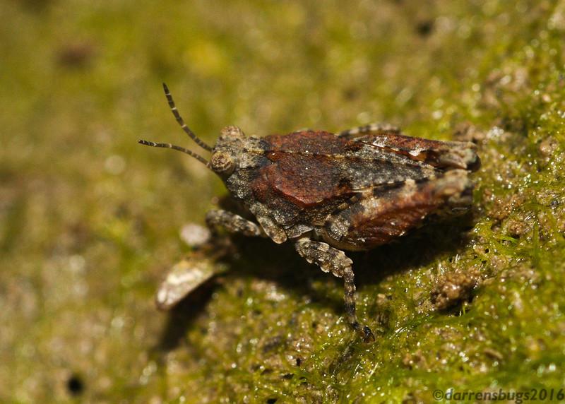 Pygmy Grasshopper, family Tetrigidae, from Iowa.