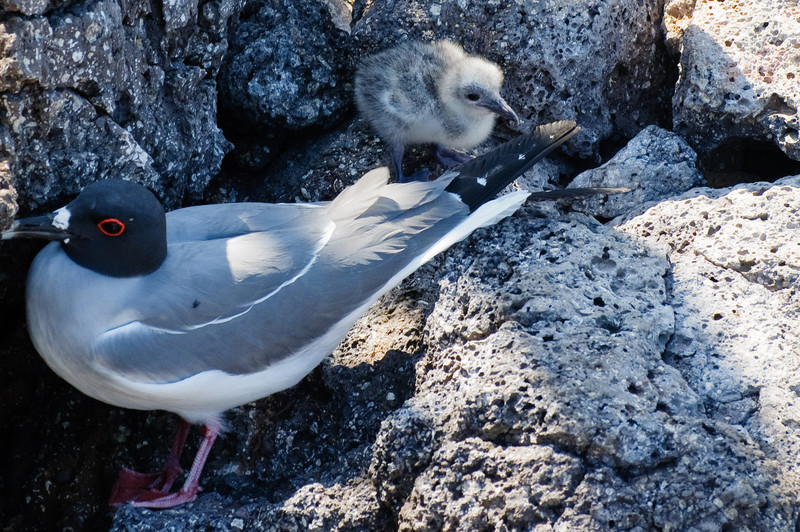 Swallow-tailed Gull and Baby