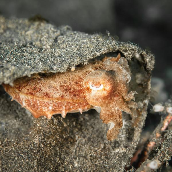 cuttlefish small hiding-1365.jpg