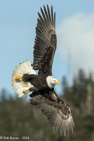Homer Eagles - Swoopin'.jpg