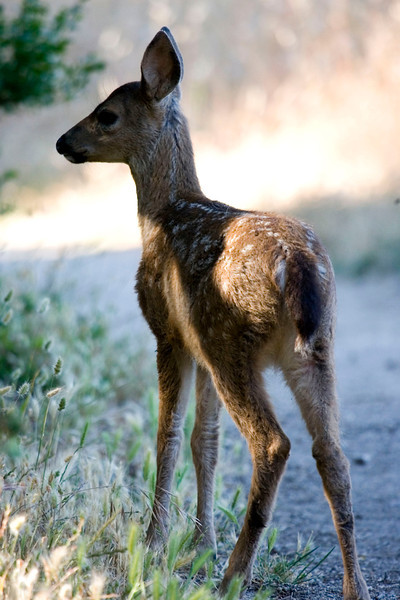 Blacktailed deer fawn, Point Reyes 7/6