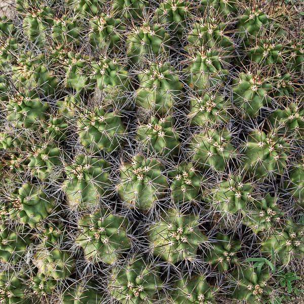 2011-11-05 Cactus Ozona B050685.jpg