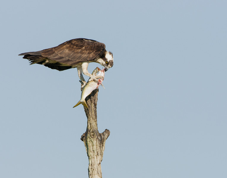 Osprey Eating a Fish